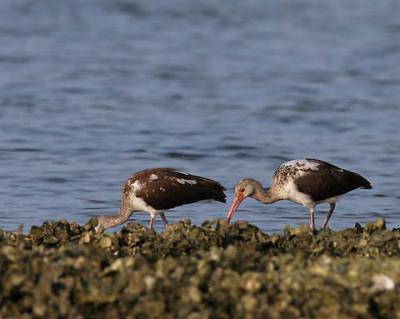 american-ibis-juvenile-do