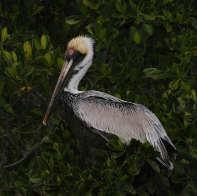 brown-pelican-do