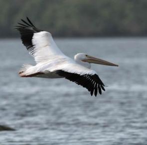 whiite-pelican3-do