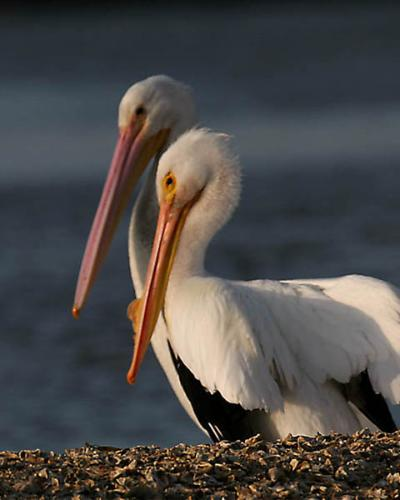 white-pelican2-do