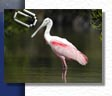 everglades wildlife, birding, birdwatching and eco tours